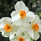 """Daudzziedu narcise """"Geranium"""""""