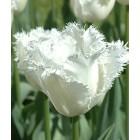 "Tulpe ""Honeymoon"""