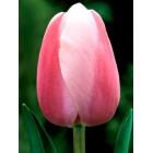 """Tulpe """"Ollioules"""""""