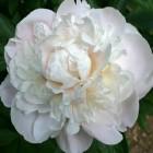 Peonija 'Gardenia'