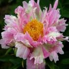 Peonija  `Pink Spritzer`